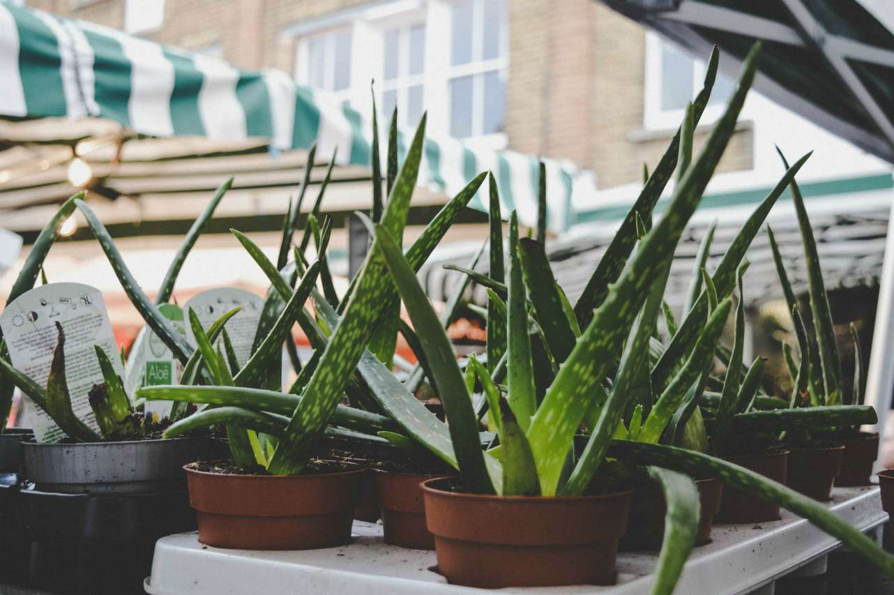 An image of Aloe Vera plants