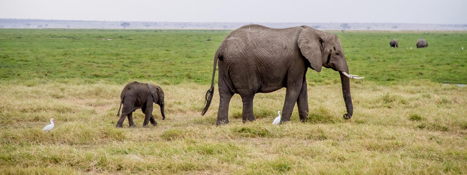 Elefantes 'low cost' en Amboseli