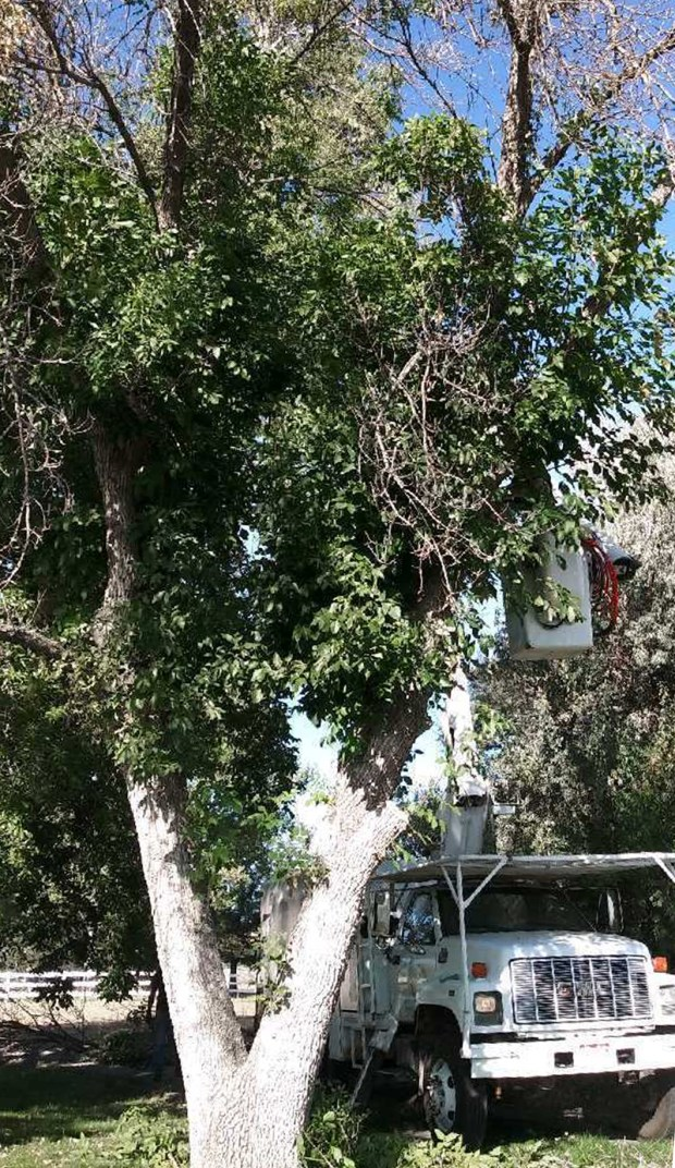 BERTHOUD, CO - OCTOBER 2, 2019: Tree experts work on an infested tree before it was removed. Confirmation of the presence of emerald ash borer -- an invasive, highly destructive tree pest -- near Berthoud in Larimer County. This detection represents the first in Larimer County and the third confirmation of EAB in Colorado outside of a federal quarantine in less than two months. (Nathan Sewolt/ A-1 Natural Arbor Care)