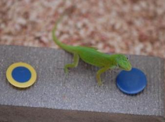 Brainy Lizards Pass Test for Birds