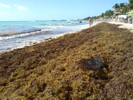 Sargazo: Cancún, más afectada que Playa del Carmen | Noticias de turismo  REPORTUR