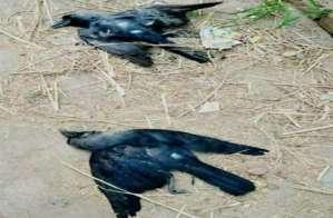 Bird flu: Alert in Gurugram after 11 crows found dead