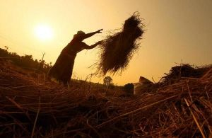 Odisha farmers pray for rainfall to save kharif paddy crops