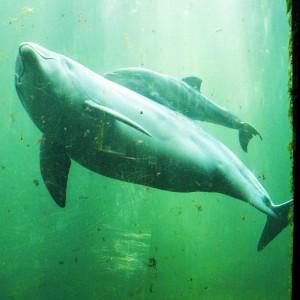 Anche i delfini si sballano. La loro droga è l'aria di un pesce palla