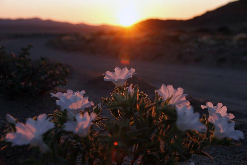 Chile cores El Niño Deserto de Atacama floreios