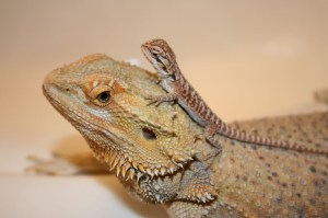 adult and baby bearded dragon