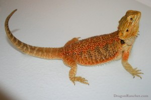Bearded dragon body language - tail up