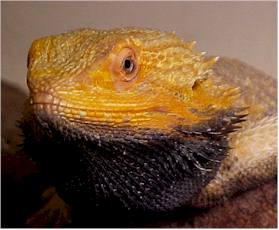 Bearded dragon body language - black beard