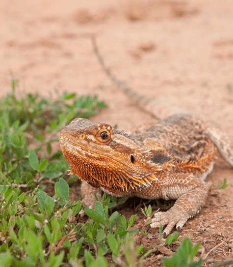 The Ultimate Bearded Dragon Care Guide