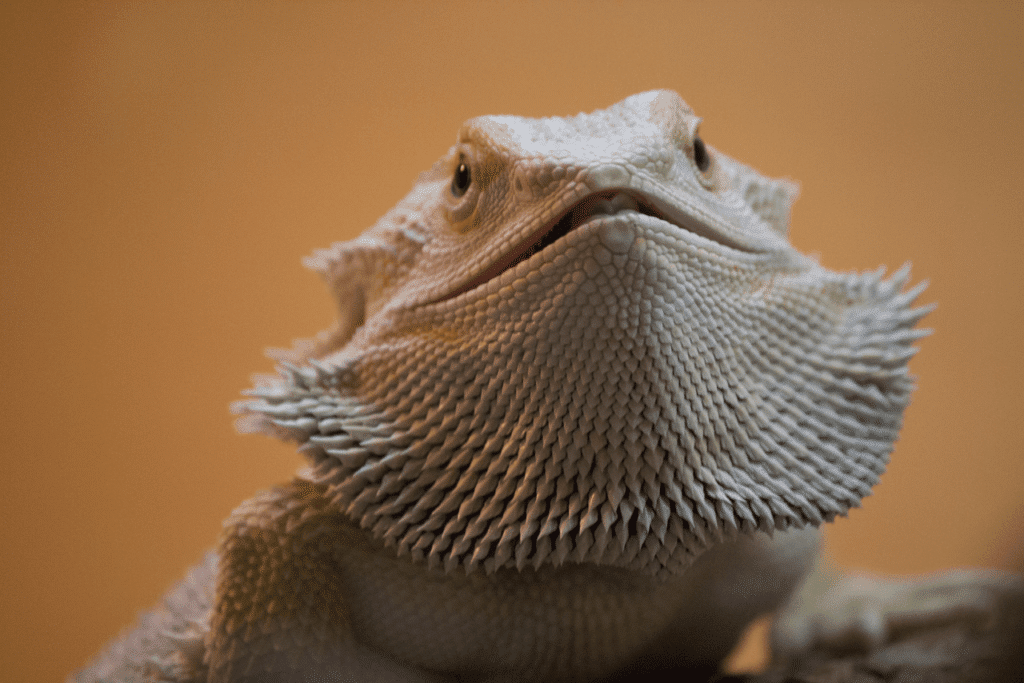 Bearded Dragon Taming & Body Language Tips