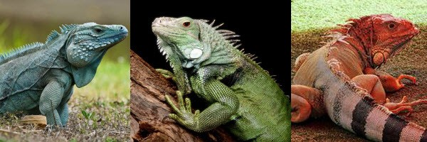 blue, green, and red iguanas