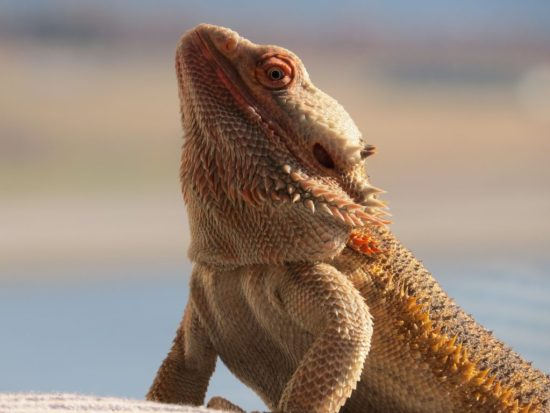 The Ultimate Guide to Bearded Dragon Care - Bearded dragon temperatures + lighting requirements