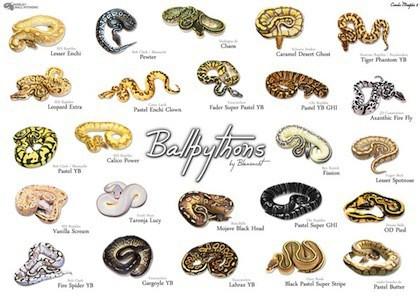 Poster of ball python morphs
