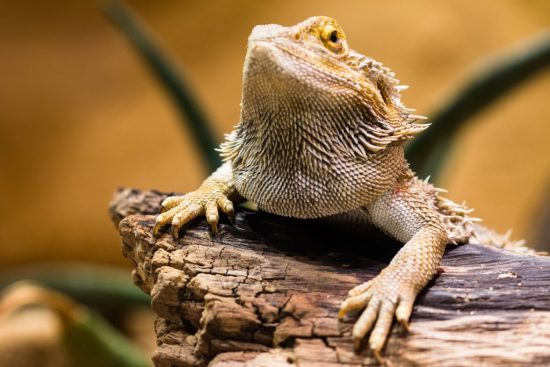 The Ultimate Bearded Dragon Care Guide - Bearded dragon decorations