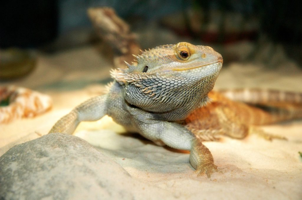 Bearded Dragon With Eyes Damaged By Crushed Walnut S