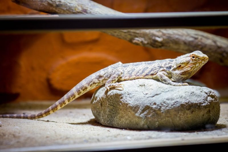 The Ultimate Guide to Bearded Dragon Care - Bearded dragon terrarium