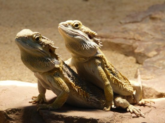 The Ultimate Bearded Dragon Care Guide - Bearded dragon cohabitation