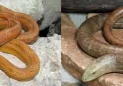 legless lizards vs snakes