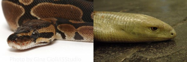 eyelids - legless lizards vs snakes
