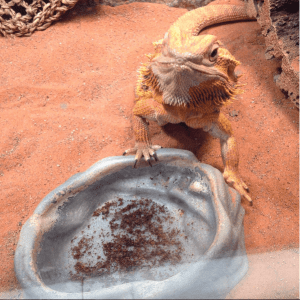 Bearded dragon food dish