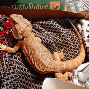 Bearded dragon on Christmas morning