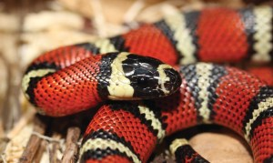 how big can snakes get: milk snake