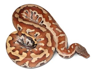 how big can snakes get: blood python