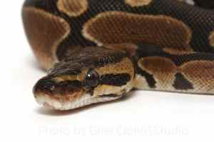 How to tell if a snake is venomous - ball python