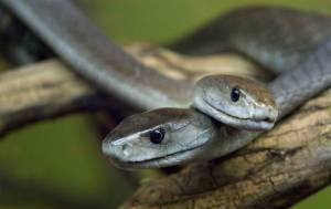 how to tell if a snake is venomous - black mambas