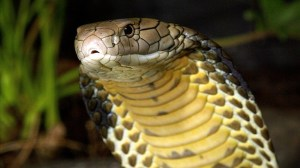 how to tell if a snake is venomous - king cobra