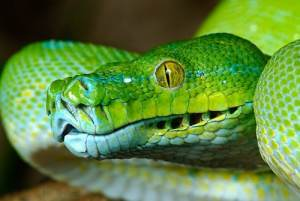 How to tell if a snake is venomous - green tree python