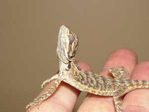 Bearded dragon atadenovirus ADV