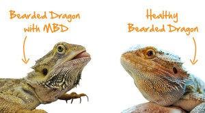 Bearded dragon with metabolic bone disease (mbd)