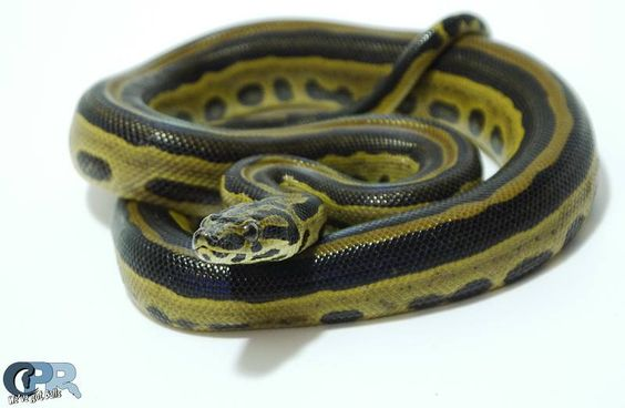Hybrid reptiles - Colombian boa x yellow anaconda