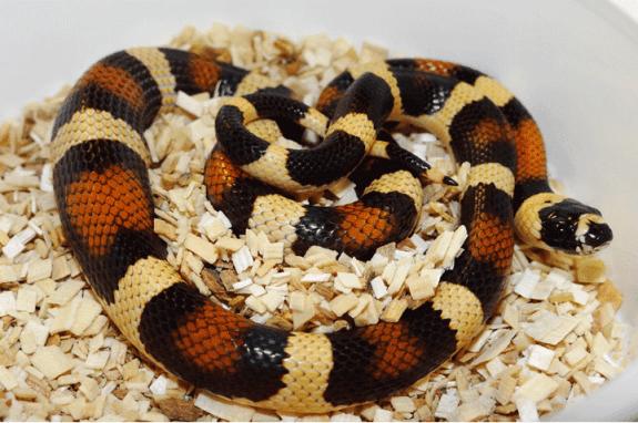 Hybrid snake - Pueblan milksnake x Banana California kingsnake