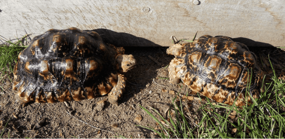 Hybrid tortoises - Sulcata x leopard tortoise