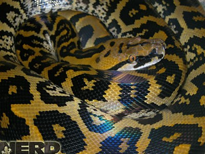 Hybrid snake - Borneo Bateater x Reticulated python