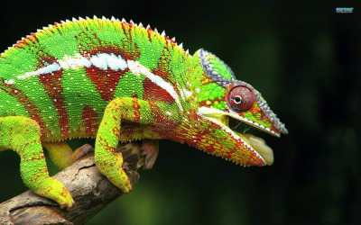 Reptile expo horoscope: Cancer - panther chameleon