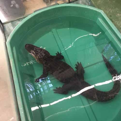 american alligator - scales n tails - wasatch reptile expo 2016