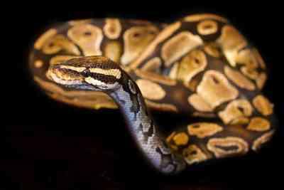 Reptile expo horoscope: Virgo - ball python