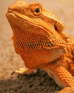 Reptile expo horoscope: Taurus - bearded dragon