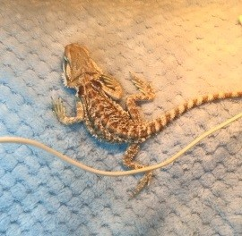 Reasons not to buy a reptile for Christmas - this baby bearded dragon with severe MBD
