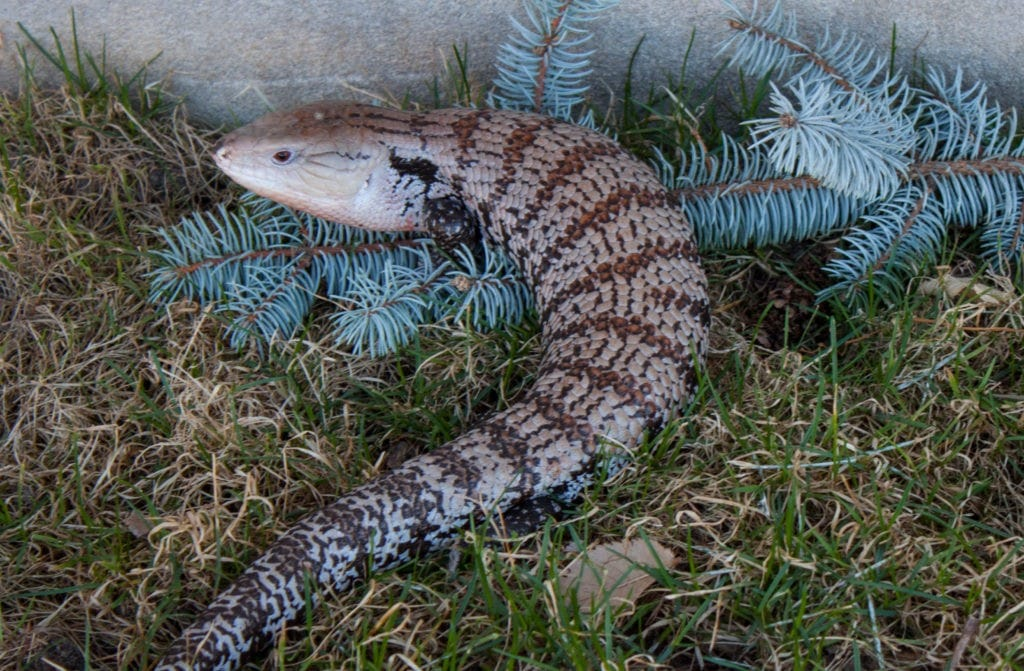 Blue Tongue Skink Subspecies