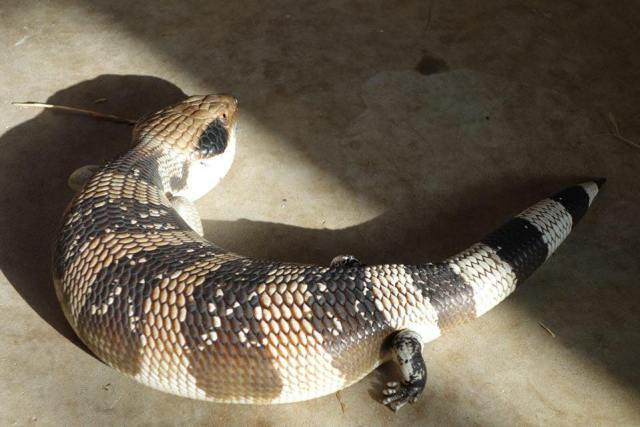 Western blue tongue skink subspecies - ReptiFiles