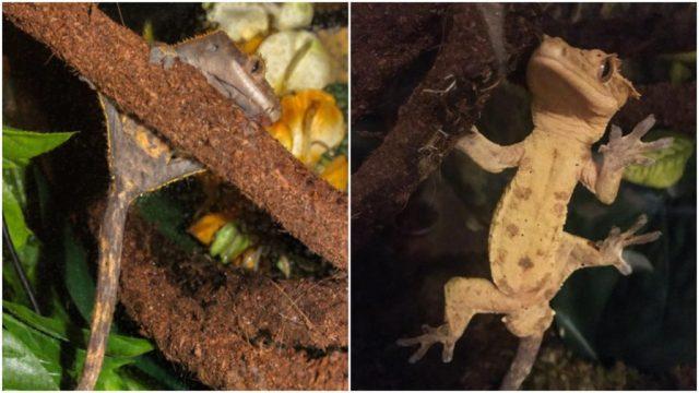 sexing crested geckos - ReptiFiles