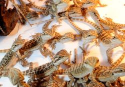 91 baby bearded dragons, the reason why we need to talk about responsible reptile breeding
