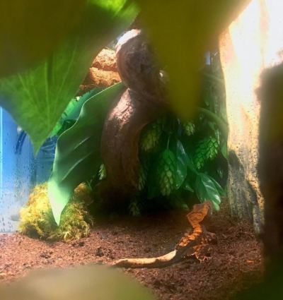 crested gecko terrarium with lugarti natural reptile bedding