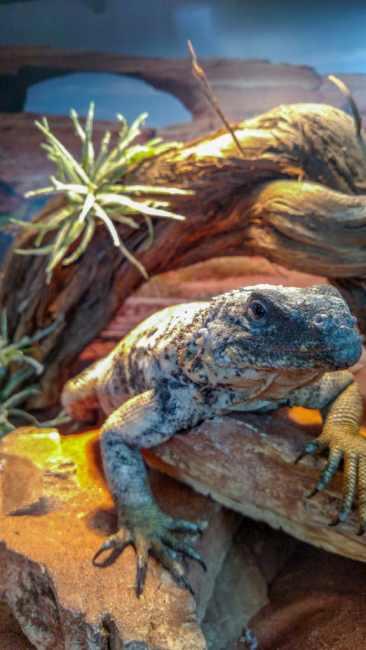 Chuckwalla hybrid at the Spring 2017 Wasatch Reptile Expo