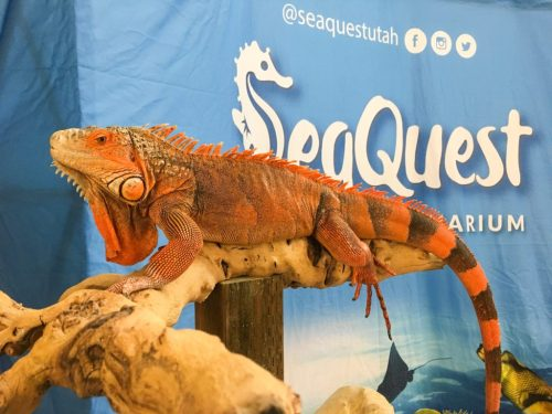 Seaquest's male red iguana at the Spring 2017 Wasatch Reptile Expo