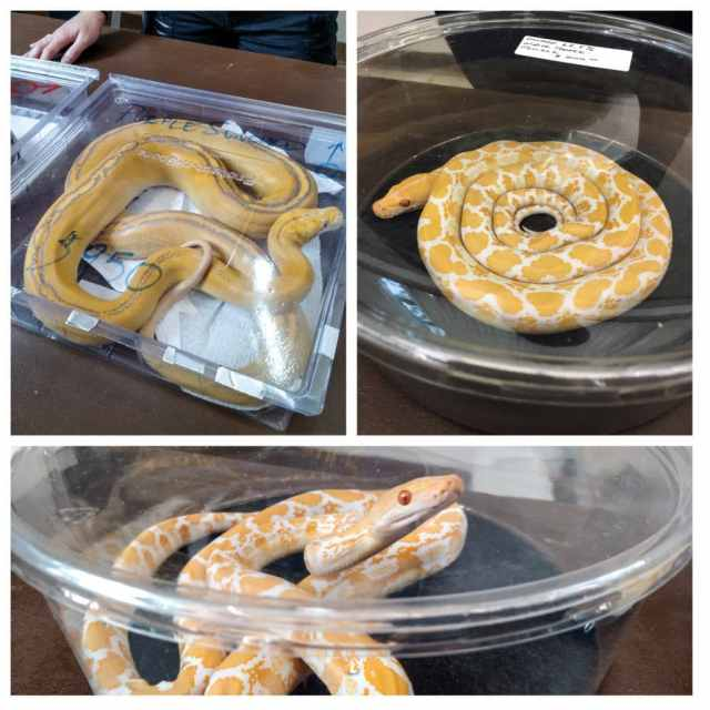 Reticulated pythons for sale at the Spring 2017 Wasatch Reptile Expo